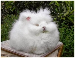 Kelinci anggora yang menggemaskan