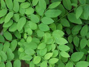 Khasiat daun katuk untuk ibu hamil
